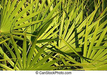 Saw Palmetto Background - Fronds of saw palmetto (Serenoa...