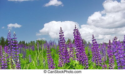 Summer lupine flowers