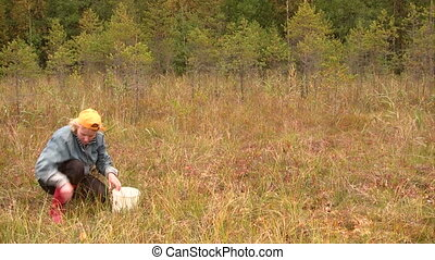 Gathering cranberries - Woman harvests cranberries on the...