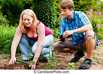 Garden - planting strawberry seedlings