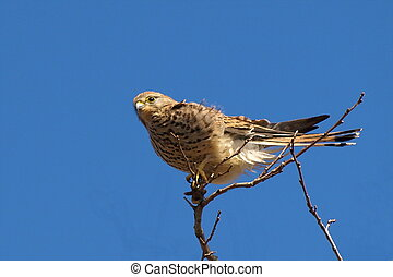 Common Kestrel, Falco tinnunculus