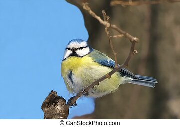 blue tit on branch, parus caeruleus