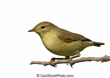 Common Chiffchaff isolated on white background phylloscopus