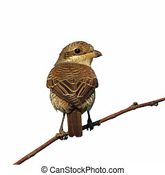 Red backed Shrike isolated - Portrait Red backed Shrike...