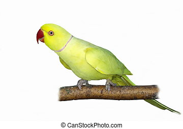 Rose ringed parakeet (Yellow) Psittacula krameri on branch...