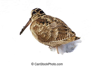 Eurasian Woodcock isolated on white background, Scolopax...