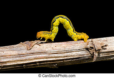 Spanworm Caterpillar of Geometer 9 - A close up of the...