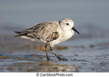 Sanderling, Calidris alba, standing on brown or gray sandy...