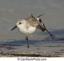 Sanderling, Calidris alba, stretching on brown or gray sandy...