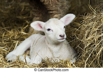 Spring Lamb - Newborn Spring Lamb laying in hay