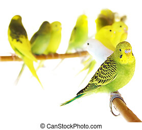 Beautiful Yellow Parrots isolated on white background