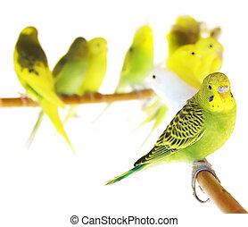 hermoso, amarillo, loros