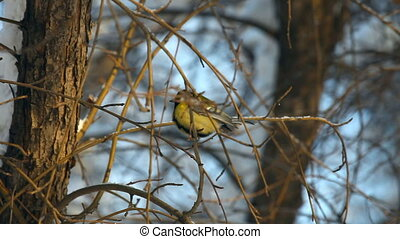 Titmouse - Titmouse on a branch of wild apple