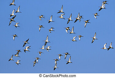 Migrating Birds - Flock of black tailed Godwits in flight...