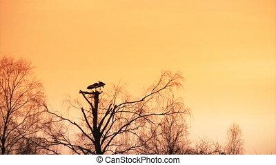 Pair of white storks at sunset