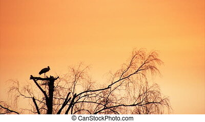 Pair of white storks - Sunset silhouette of white storks in...