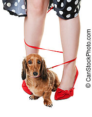 Tangled Dachshund Dog - A red dachshund on a leash, tangled...