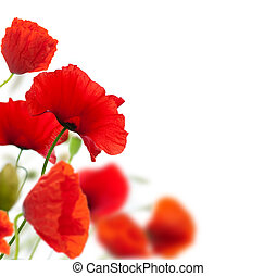 poppies isolated on white - summer scenery, many red poppies...