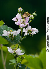 Blackberry blossom - Close up shoot of blackberry blossoms...