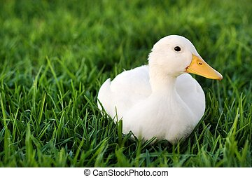 Cute white duck on a lawn