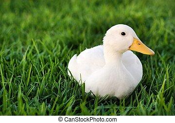 lindo, blanco, pato, césped