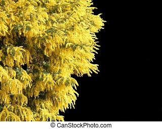 mimosa, isolato, nero