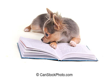 Thoughtful chihuahua puppy reading an interesting book...