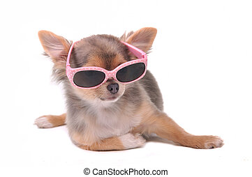Smart dog. Chihuahua Puppy Wearing Pink Sun Glasses Isolated...