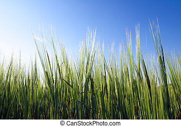 Closeup of barley green, and blue sky in spring
