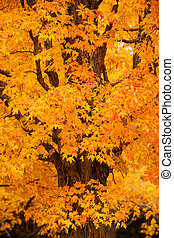 New England foliage - Beautiful maple tree in autumn colors,...