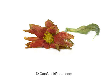 sad flower - withered and faded flower on White Background