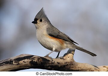 Tufted Titmouse - Posing for me near my feeder