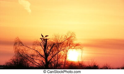 Silhouette of storks in the nest - Silhouette of a white...