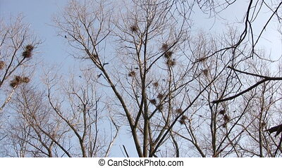 Flock of crows flying around nests against blue sky...