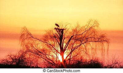 Stork nest - Nest of white storks over trees on sunset