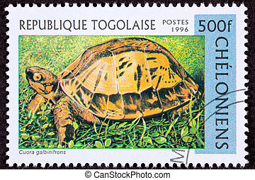 Endangered Vietnamese box turtle, Indochinese box turtle, or...