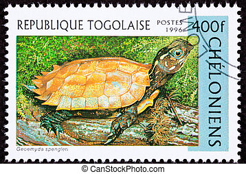 Endangered Black-Breasted Hill turtle, also known as the...