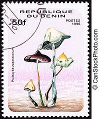 Psilocybin mushroom Psilocybe zapotecorum . Psychedelic...
