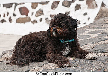 Black shaggy dog lying at the street, cross breed between a...