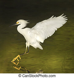 florida birds - Snowy Egret in flight Latin name - Egreta...