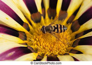 Gazania, flor, sentando, macro, florescer, abelha, tarde,...