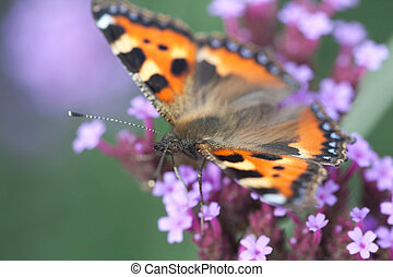 butterfly urticaria sits on a purple flower heliotrope,...