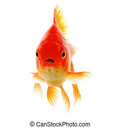 goldfish or fish isolated on white background