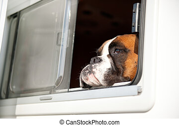 Pure breed bull dog - Pure breed Bull dog is thinking while...