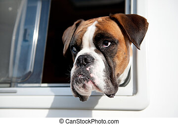 Pure breed bull dog - Pure breed Bull dog is looking out of...