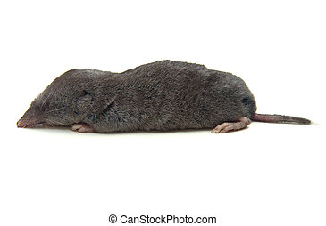 Shrew - Northern Short-tailed Shrew (Blarina brevicauda) on...