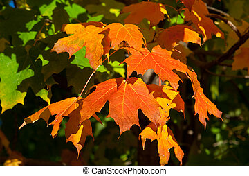 Orange, Red, Yellow Maple Leaves on Tree Fall Autumn - Full...