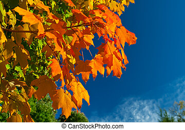 Orange Red Yellow Maple Leaves Tree Autumn Sky - Backlit...