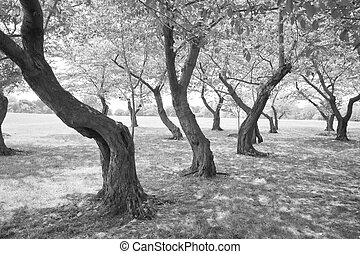 Black White Twisted Cherry Trees in Grove Washington DC