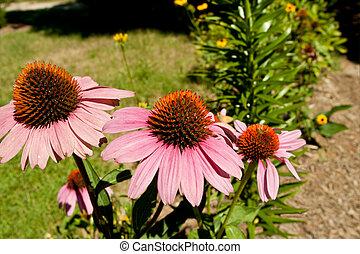 Pink Coneflowers Magnus Echinacea - Pink coneflowers Magnus...